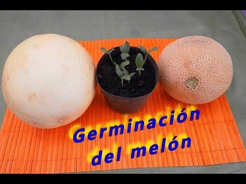 Como germinar semillas de melón