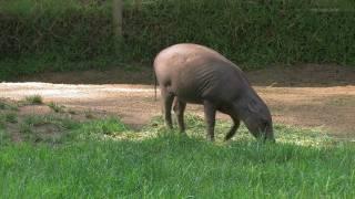 Babirusa La Zoo