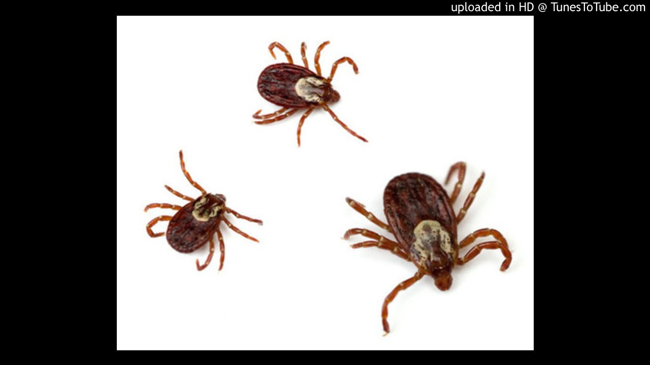 This Years Real Christmas Trees May Have Ticks - YouTube