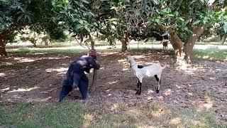 Oho Amazing goat with sweet boy veloge meets ||Cute Animals 1M ||