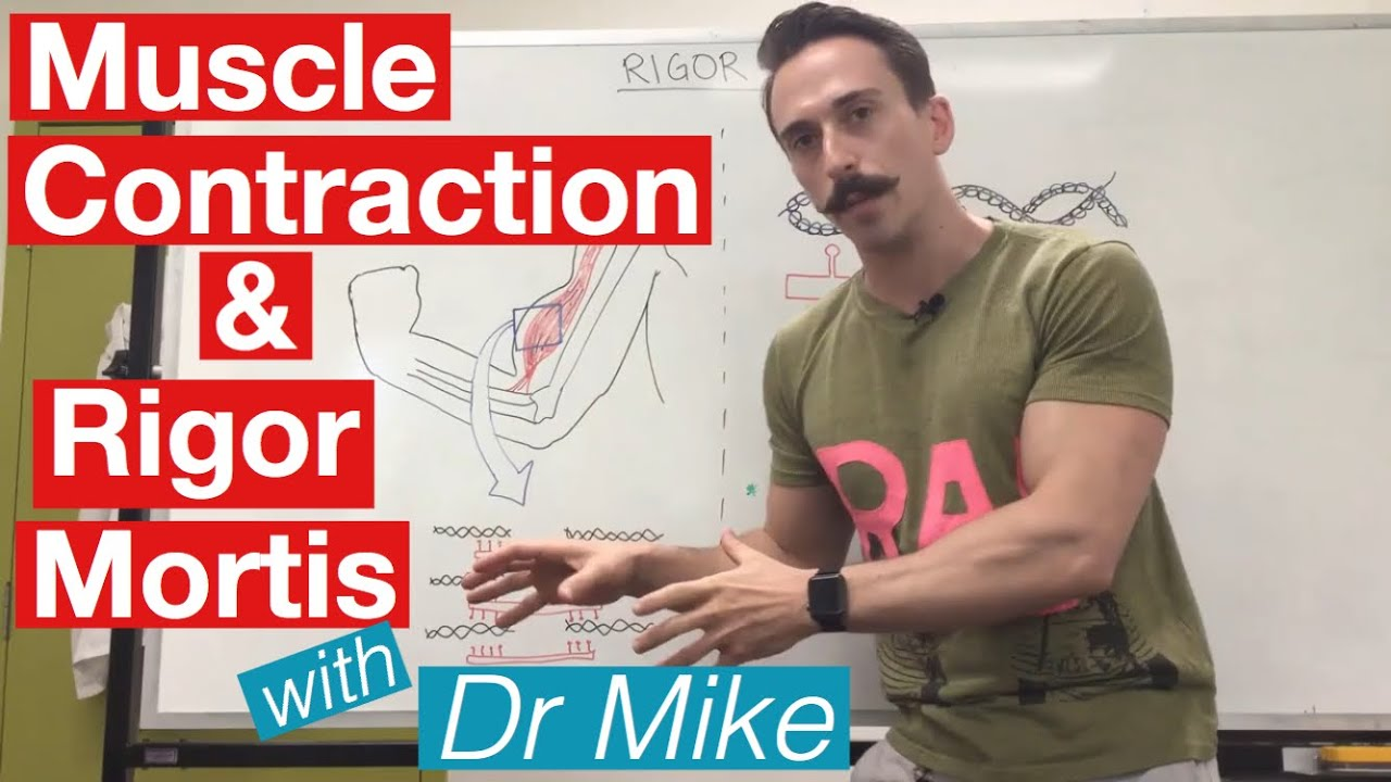 Rigor Mortis and Muscle Contraction | Muscular System