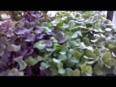 Grow Microgreens!  Veggies in 7 days!