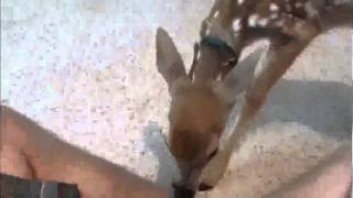 Baby deer pet - fawn bites my leg going for food
