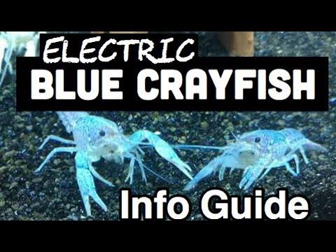 Blue Crayfish Aquarium - Electric Blue Crayfish Care