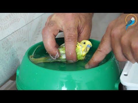 Muhabbet Kuşu Nasıl Yıkanır?  Muhabbet Kuşu Banyo Yaptırma