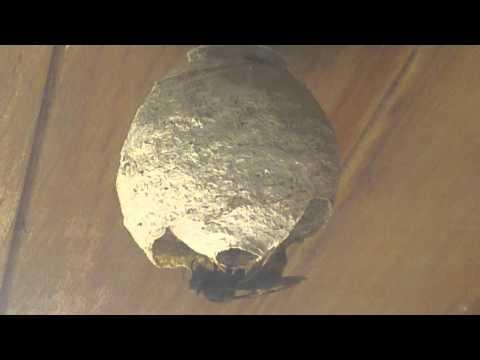 La construction d 39 un nid de frelon asiatique youtube - Petit nid de frelon ...