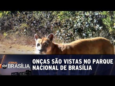 Onças são vistas passeando pelo Parque Nacional de Brasília | Jornal SBT Brasília 17/08/2018