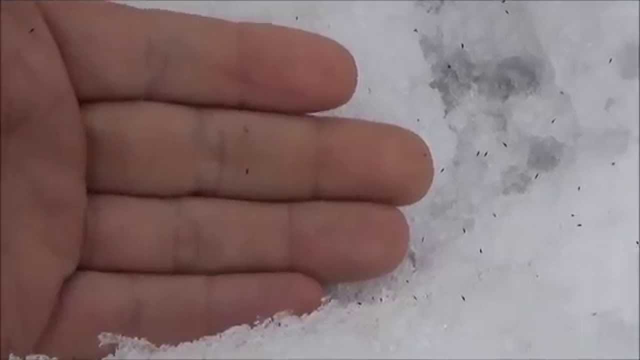 Billions Of Snow Fleas Cover The Forest Floor