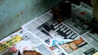 Border Terrier Puppies - 4 Weeks Old (4)