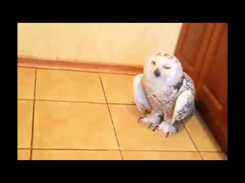 Купание домашней совы