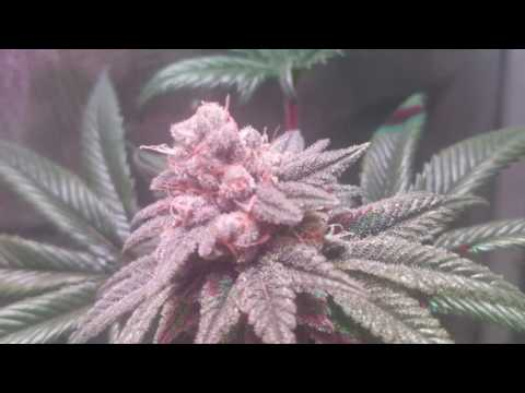 Day 42 full Humboldt secret line up and strawberry cookie delight cannabis  and trichome development