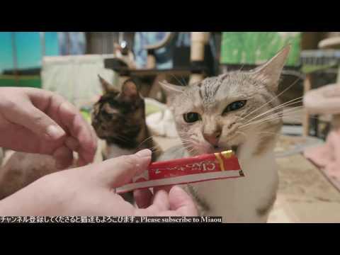 2018.7.19 ちゅーる   Cats & Kittens room 【Miaou みゃう】