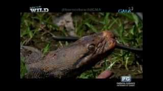 Born to be Wild: Aggressive python attacks Doc Nielsen Donato