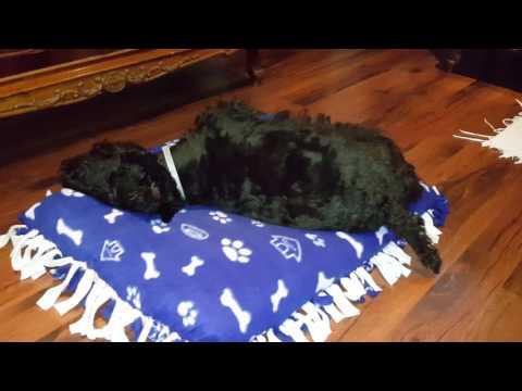 Obama, my Scottish terrier testing the new mattress