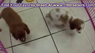 Cavalier King Charles Spaniel, Puppies For Sale, In Macon, Georgia, Ga, 19breeders, Athens,augusta