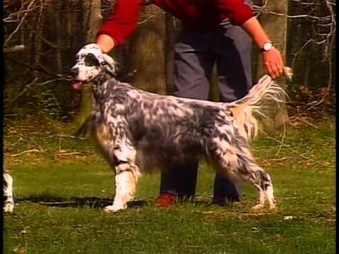 English Setter - AKC Dog Breed Series