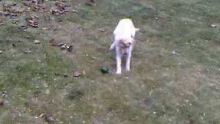 Belle the Dog Attacks a Bell Pepper
