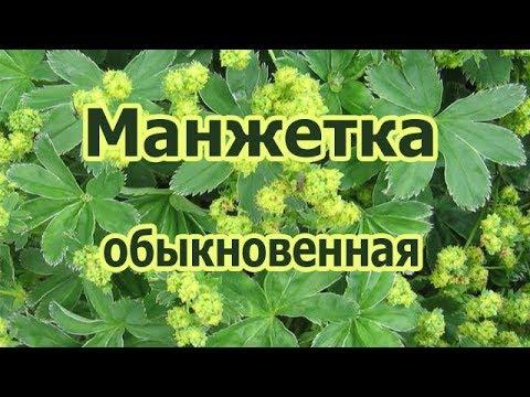 Трава манжетка обыкновенная, лечебные и полезные свойства растения в гинекологии, при похудении.