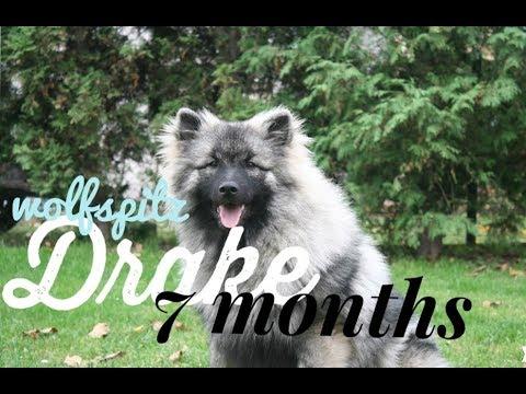Drake - 7 months WOLFSPITZ