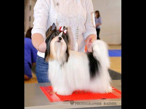 Как научить собаку стойке для выставки