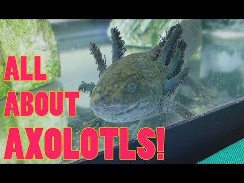 How to Care for Axolotls!
