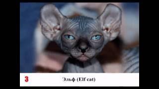 10 самых смешных пород кошек: видео