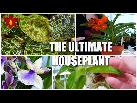Demystifying Orchids For Houseplant Lovers - (Almost) Everything You Know About Orchids Is Wrong!
