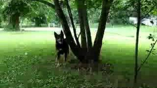 Australian Kelpie Search Dog Training