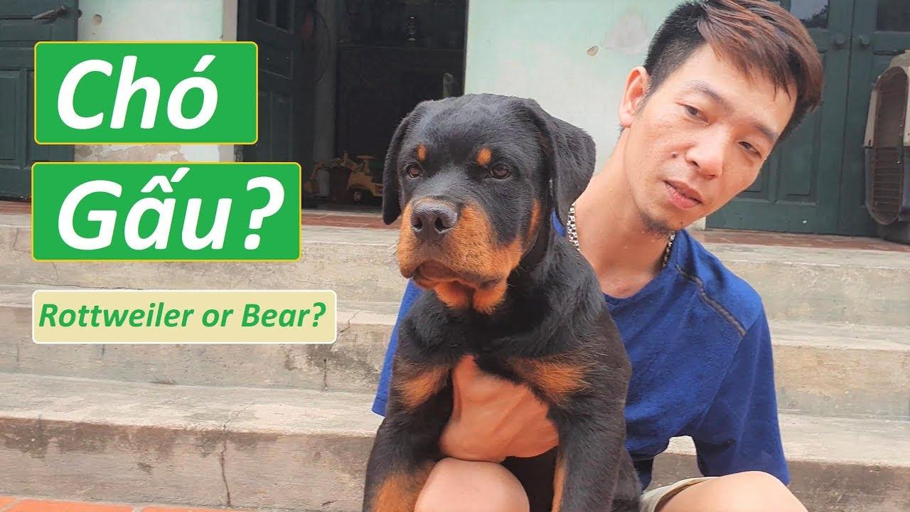 Chó Rottweiler đẹp 3 tháng như 1 con Gấu
