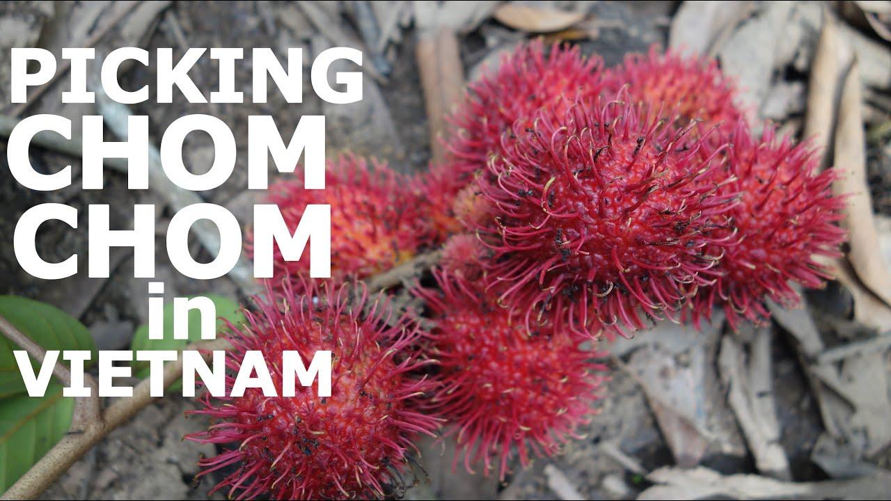 picking tropical exotic fruits in vietnam: chom chom / rambutan