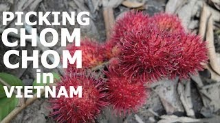 Picking Tropical Exotic Fruits in VIETNAM: CHOM CHOM / Rambutan