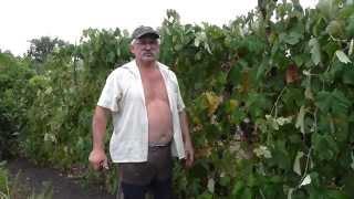 Вино из Изабеллы. Виноградное вино. Изабелла - фильм 1й
