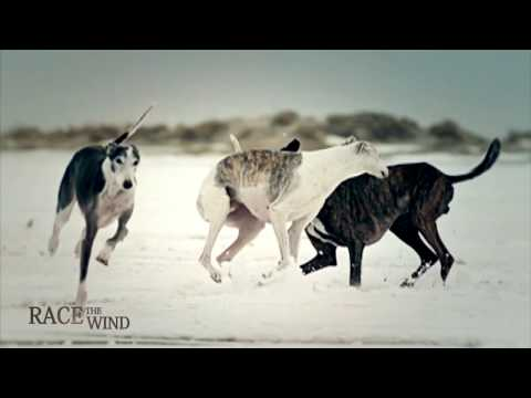 RACE THE WIND  Greyhound Beach • Sighthound Galgo Beauty & Performance