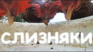 Едят ли куры слизней?