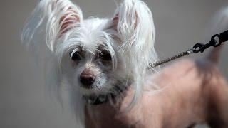 Китайская хохлатая собака. ZooPlace.Ru