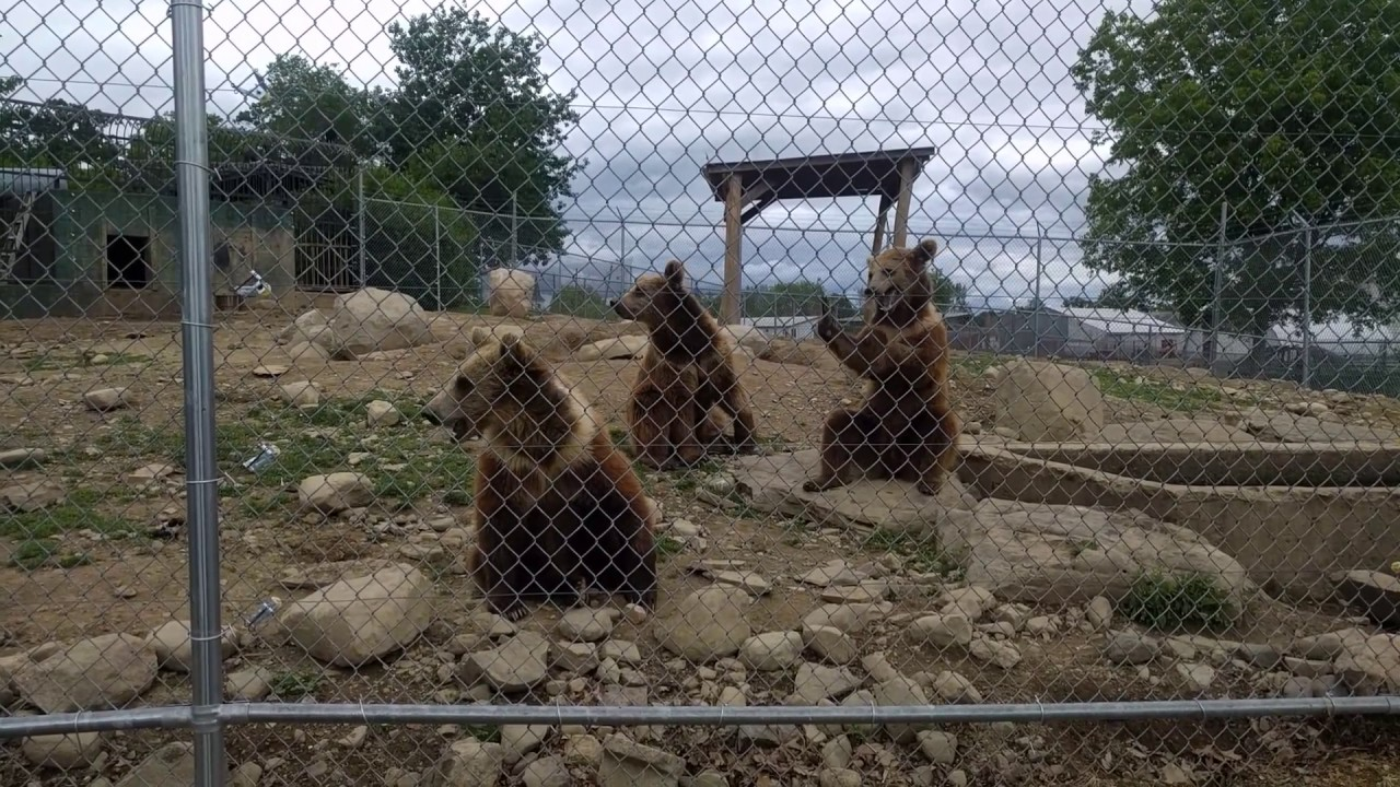space farm zoo kodiak bears waving