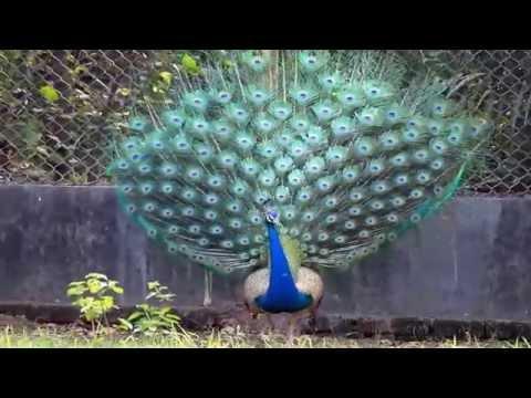 Peacock Dance capture in National Zoological park, Delhi