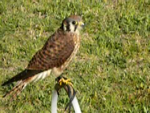 American Kestrel Calling - YouTube