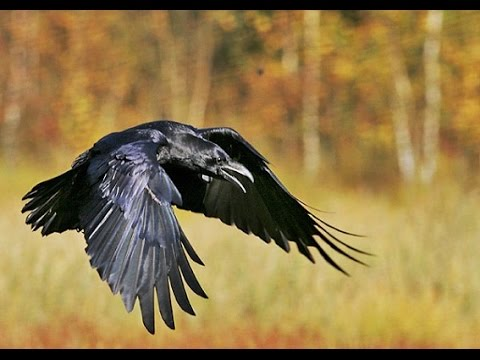 La inteligencia del Cuervo - (Documental)