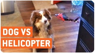 Dog vs RC Helicopter | Furry Godzilla