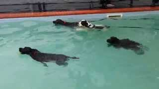 Cocker Spaniels Swimming Hour