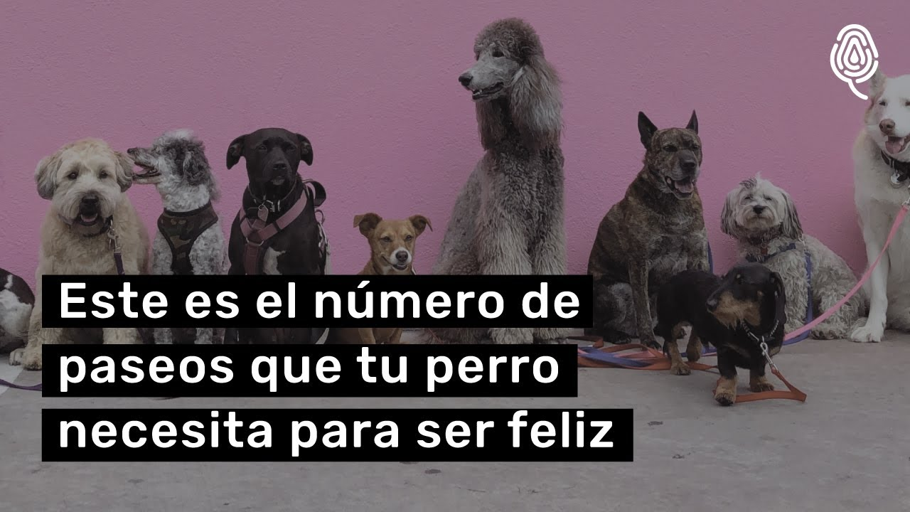 ¿Cuántos paseos necesita un perro?