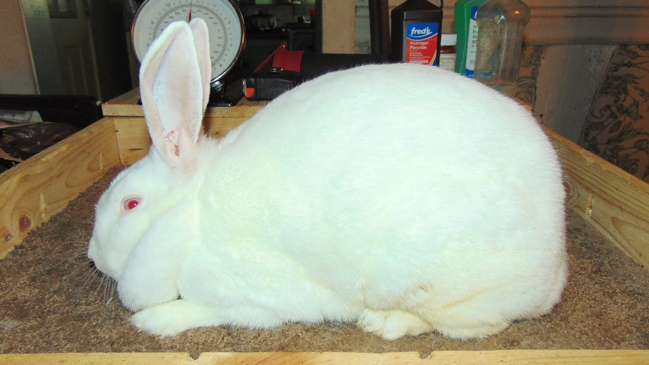 New Zealand Rabbits - More New Zealand Rabbit Addition to the ...