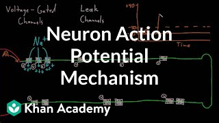Neuron action potential mechanism