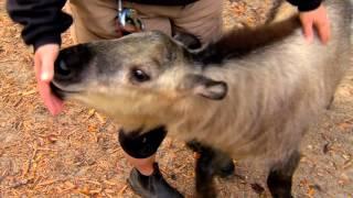 Takin Calf Dale in Exhibit Yard - Cincinnati Zoo
