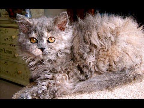 Лаперм, Любвиобильная Кошка, Породы кошек, уход, содержание