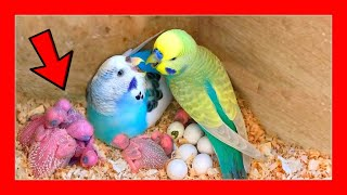 Young parakeets day by day  Breeding of Australian parakeets