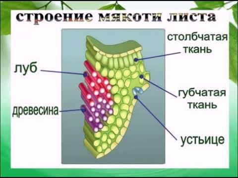 Клеточное строение листьев