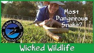 The Taipan Vs The Black Mamba, Who is the Most Dangerous Snake?
