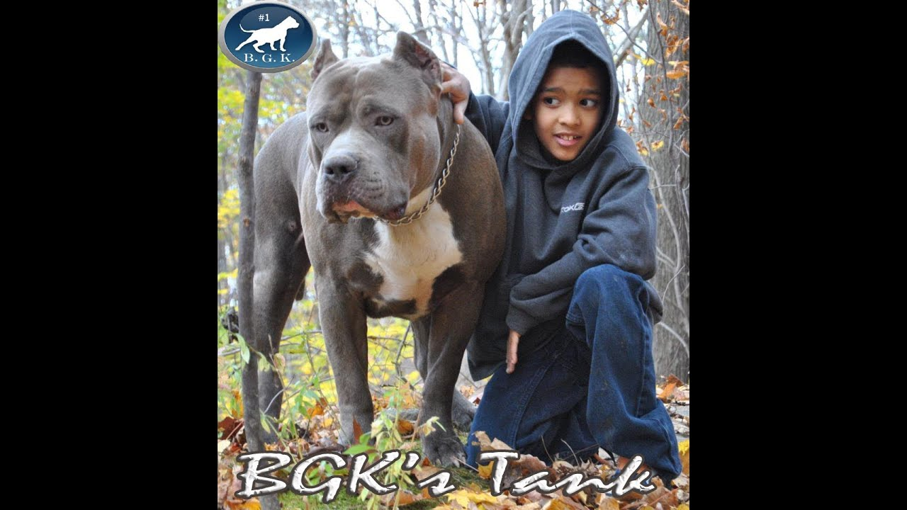 Biggest Blue XL Bully pitbull, BGK's Tank, 2 years, 157 ...